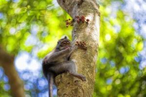 macaco macaque de cauda longa