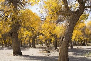 árvore de choupo na temporada de outono foto