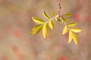 folhas de briar foto