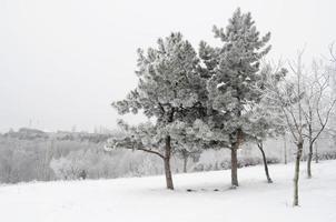 pinheiros cobertos de neve foto