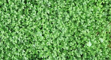 samambaia pequena verde fresca como pano de fundo