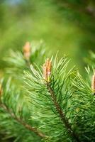 pinheiro floresce na primavera foto
