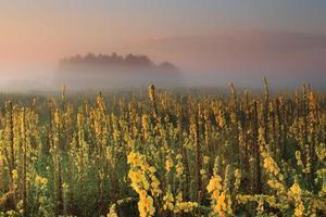 nascer do sol enevoado no campo com flores amarelas