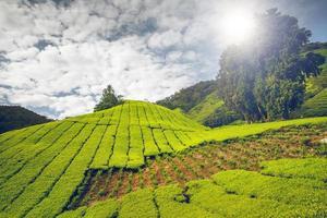 plantação de chá em cameron highlands foto