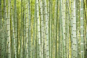 fundo de árvores de bambu foto