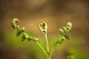 novas folhas de samambaia começando a se abrir