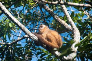 macaco pequeno em bonito, pantanal, brasil foto