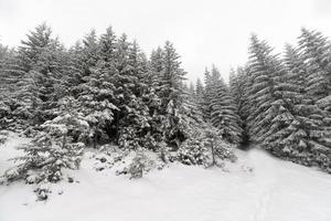 floresta nevoenta de árvore spruce coberta pela neve na paisagem de inverno.