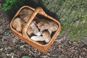 cesta de vime cheia de cogumelos brancos frescos na floresta