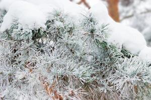 galho de pinheiro coberto com gelo, closeup foto