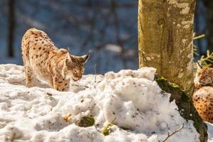 retrato de lince no fundo de neve foto