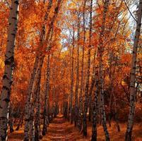outono bétula foto