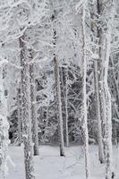 lindas árvores cobertas de neve