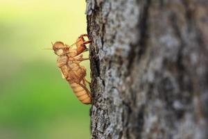 cicada slough ou muda segurando na árvore foto