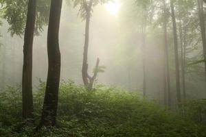 árvores escuras e luz através da névoa