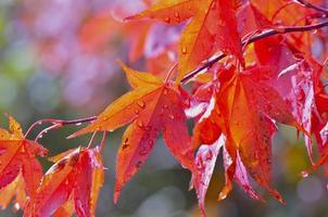folhas vermelhas de outono foto