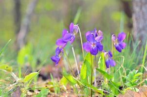 flores de violetas desabrochando