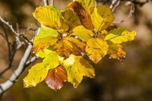 galhos com folhas coloridas de uma árvore de faia.