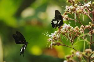 borboletas voam para a polinização das flores foto