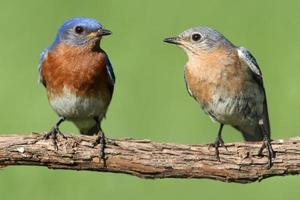 par de bluebird oriental foto