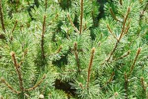 muitos ramos verdes de pinheiro