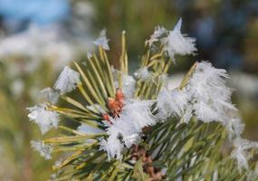 close da extremidade gelada de um galho de pinheiro foto