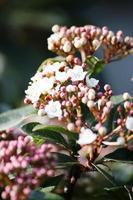 viburnum tinus, uma planta perene de bola de neve ou bola de neve mediterrânea foto
