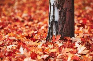 tronco e folhas de bordo foto