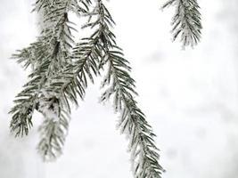 ramo de abeto com neve foto