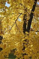 folhas da árvore de bordo no outono foto