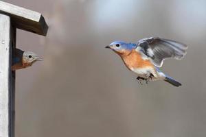 par de pássaros azuis foto