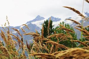 espigas de grama amarela crescendo no prado