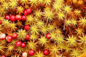 cranberries bagas vermelhas fundo natureza foto