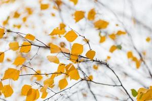 outono bétula brach foto