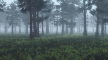 pinheiro enevoado com solo de samambaia.
