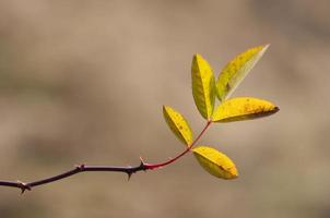 folhas de briar