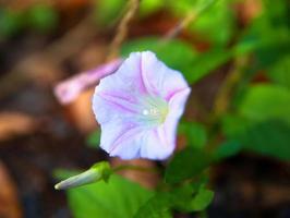flor roxa florescendo ipomeia foto