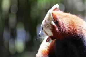 Panda vermelho.