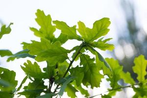 fundo de folhas de carvalho jovem