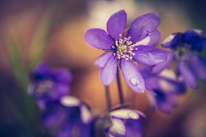 foto vintage de flores de hepática florescendo