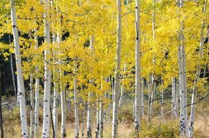 madeira de outono de aspen, colorado foto