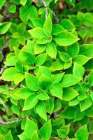 folhas de buganvílias foto