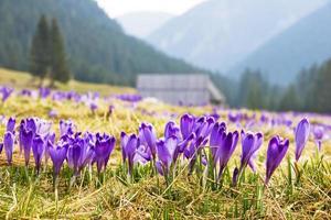 açafrão em um prado verde na primavera