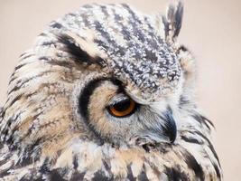 águia coruja olhando fixamente com seus grandes olhos laranja