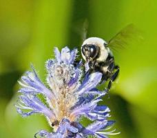 abelha em uma flor foto