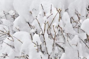 arbusto sob a neve