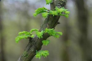 ramo de abeto com agulhas verdes foto