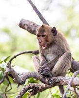 macaco (macaco comendo caranguejo) ásia tailândia foto