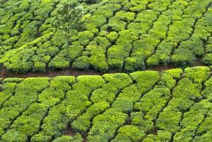 plantação de chá, colheita de chá