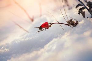 briar de baga vermelha na neve foto
